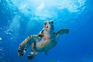 a picture of a sea turtle spotted at boca catalina beach in aruba