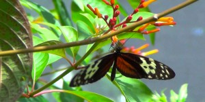 a picture of a butterfly at the aruba butterfly farm