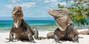 a picture of iguanas on iguana beach aruba
