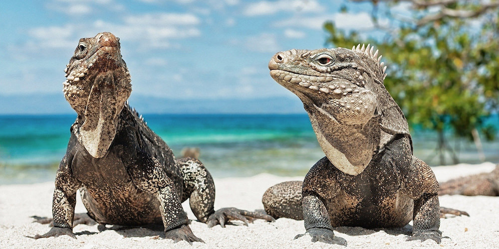 a picture of iguanas on iguana beach aruba