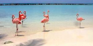 a picture of flamingos on renaissance island aruba
