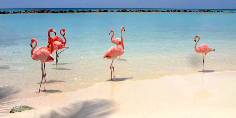 a picture of flamingos on Flamingo beach on renaissance island Aruba