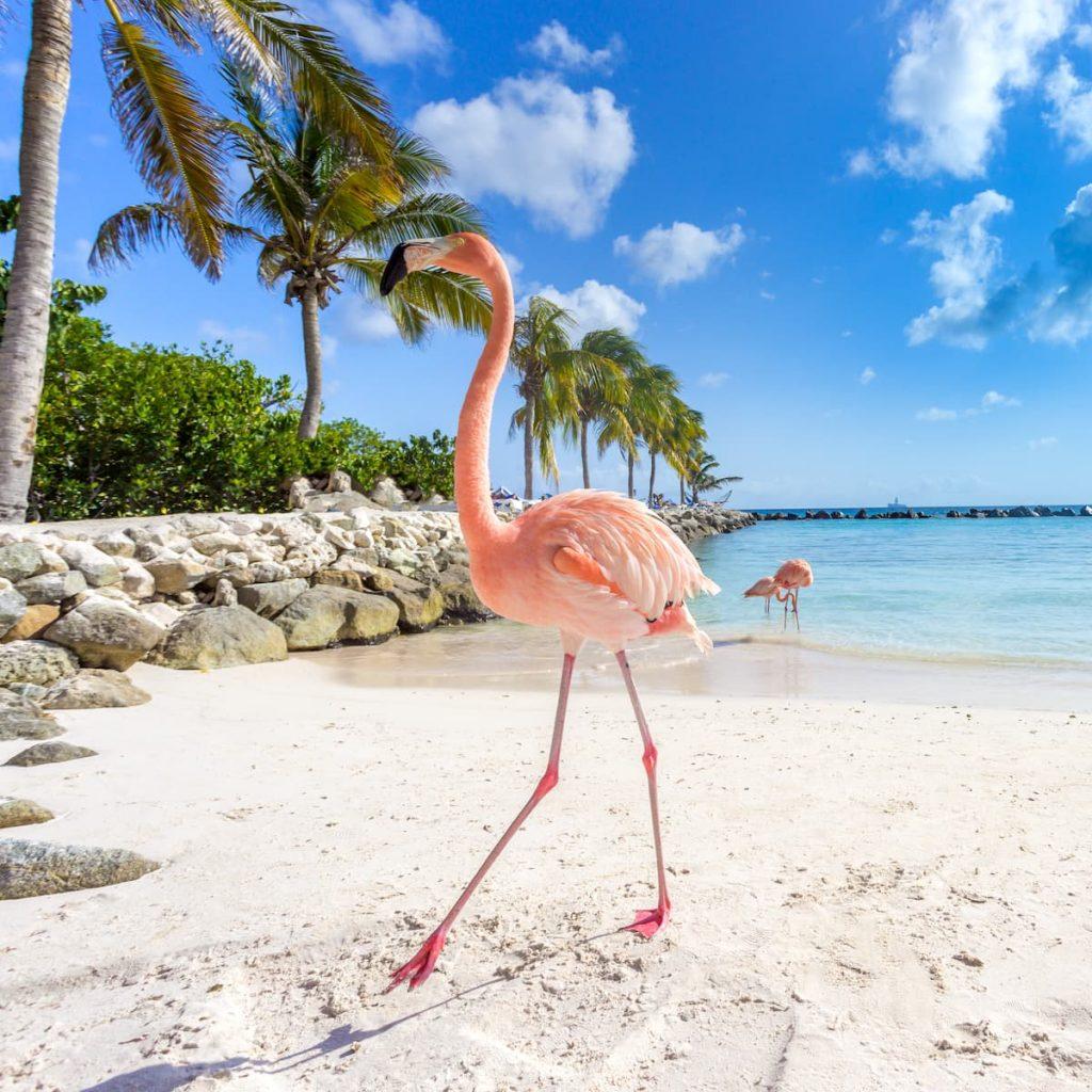 Three pink flamingos strolling along the water at Flamingo Beach, Aruba.