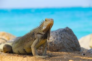 an iguana on a beach in Aruba in the Dutch Caribbean