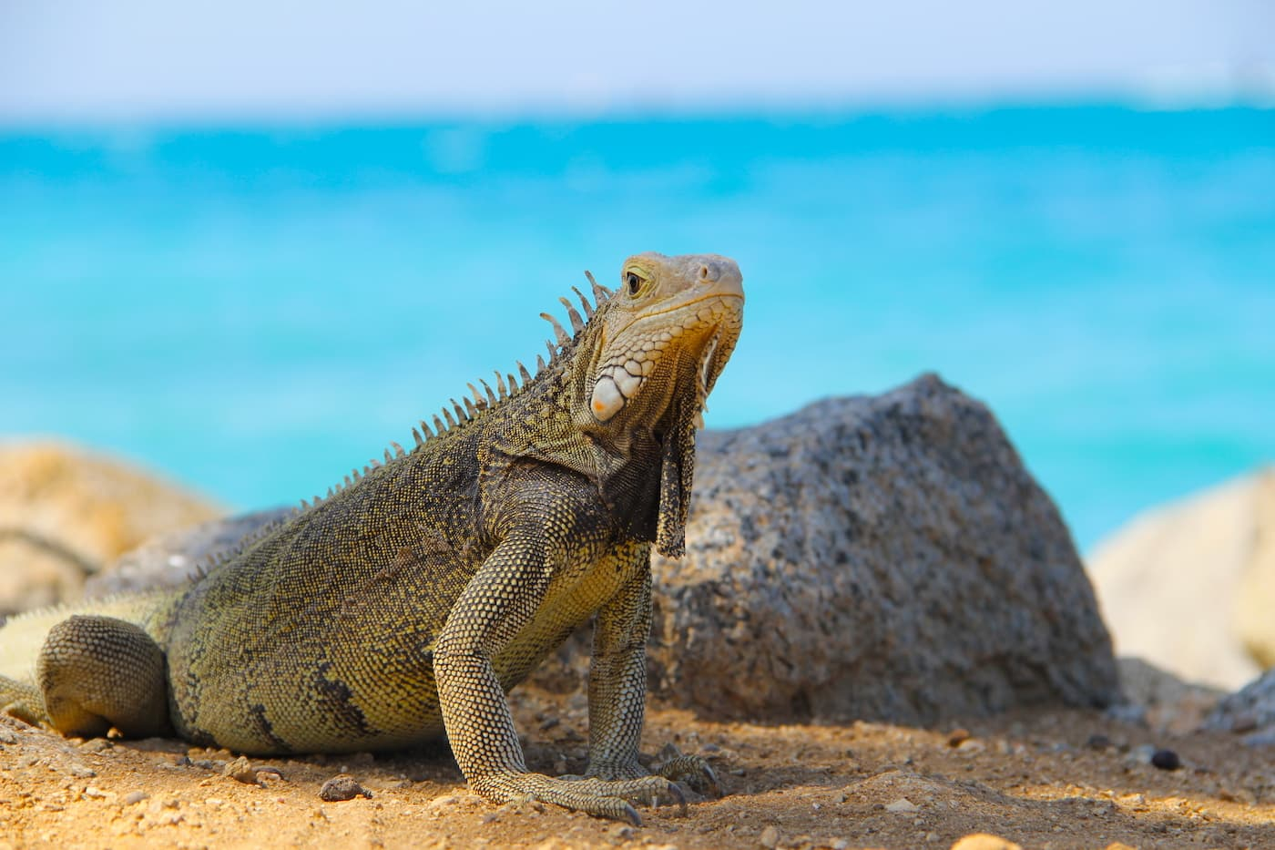 an iguana on a beach in Aruba in the Dutch Caribbean
